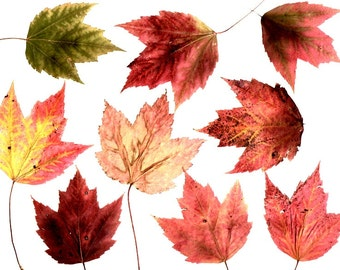 25 Real Pressed Red Maple Leaves, Red, Green, Orange Hues, Fall Weddings, Thanksgiving Decor, Wedding Leaf Confetti, Biodegradable