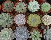 "30 Succulents, Rosettes, Large, From 4"" Pots, Great For Bouquets, Wedding Decor And Centerpieces"