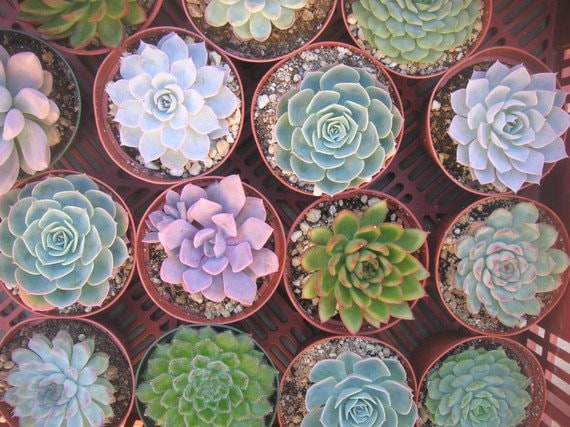 RESERVED For Maria, Succulents Cuttings Great For Dish Gardens, Favors And More, Ship Date October 11