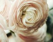 Nature Photography - Ranunculus, Pink and White Decor, Petals, Peonies - Pop 8x10