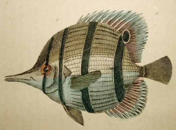 ANTIQUE FISH ENGRAVING-hand colored 1860s -vg condition- rich color-blue gray, rust, mustard, light blue