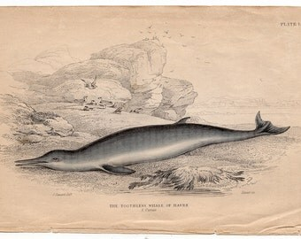 1837 ANTIQUE WHALE ENGRAVING original antique sea life ocean print - toothless whale