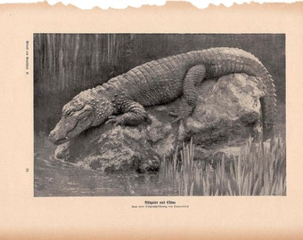 1900 ALLIGATOR original antique animal reptile print