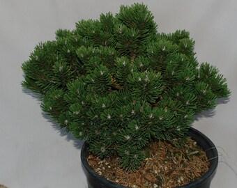 Pinus Mugo 'Sherwood Compacta'