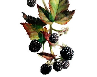 Blackberry Botanical Study - Limited Edition Print