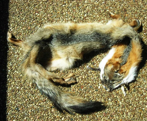 Gray Fox Taxidermy Fur Roadkill Pelt