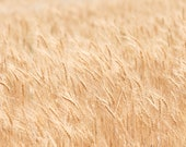 Dreamy Cream Nature Photograph, 8x10, Summer Wheat Fields, Autumn wind