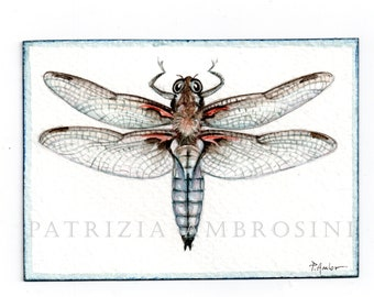 Original ACEO ..Broad-bodied Chaser ...Original  watercolor Card painting  Insecta Dragonfly