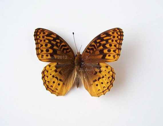 Real Butterfly Specimen Unmounted Ready Spread, The Great Spangled Fritillary
