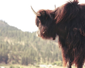 The Yak Looking awy no 5 FineArt 8x10 photograph