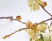 Acorn Photograph Fine Art Photography Photo Minimalist Autumn Fall Tan Neutral Soft Brown Woodland Woods Nature Organic
