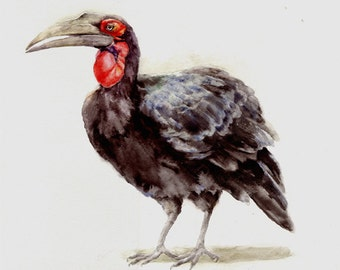 Ground Hornbill -print from original watercolor painting, Holiday present / birthday present / art collection