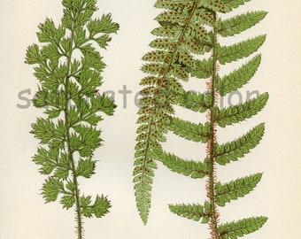 Antique Fern Chromolithograph Original Print - Green Fern Frond - Antique 1874 Edward Lowe Fern - No. 17 - Chartreuse