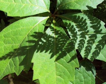 Green Plants of Summer / Green Leaves / Nature / Shadows / Fine Art Photography