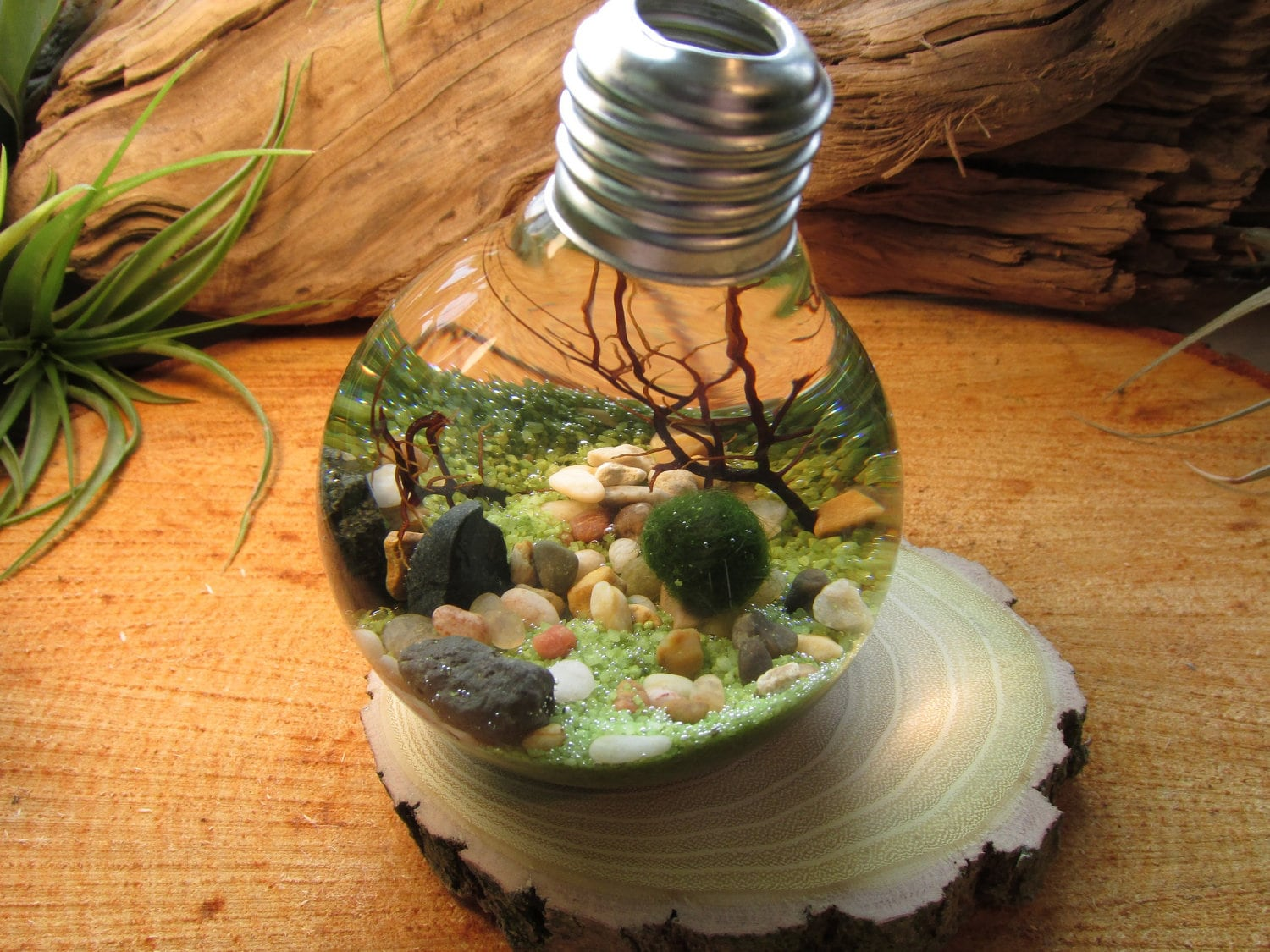 Marimo Terrarium By Midnight Blossom Reclaimed Light Bulb