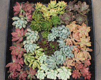 """25 Gorgeous wedding ROSETTE Succulent CUTTINGS (2-4""""inches)  great for FAVOR bouquet corsage wreath"""