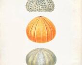 Vintage Sea Urchin Shell Print 8x10 P196