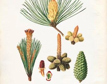 Vintage Pine Cones, Acorns Print 8x10 P235