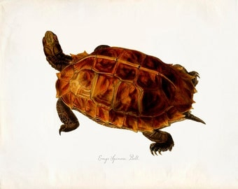 Vintage Turtle on Antique Paper Print 8x10 P280