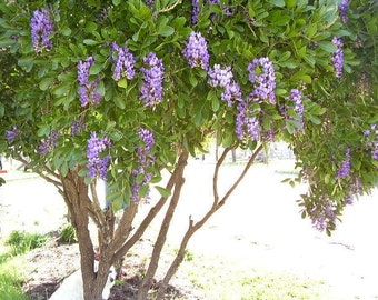 Texas Mountain Laurel  Seeds