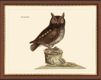 LITTLE OWL - Catesby 12x16 bird print reproduction 7011