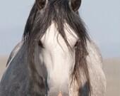 Indigo Comes Close - Fine Art Wild Horse Photograph - Wild a Horse - Indigo