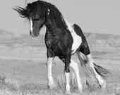 Washakie Walks - Fine Art Wild Horse Photograph - Wild Horse - Black and White - Washakie