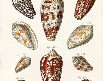 Antique Shell Art Print - Coni Shells - Wall Decor - Natural History