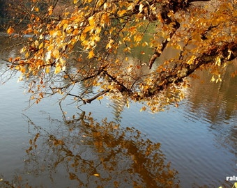 Yellow fall leaves, Water reflections, Autumn photography, Dried autumn leaves, Nature photography, Rustic home décor, Lake Tree Autumn
