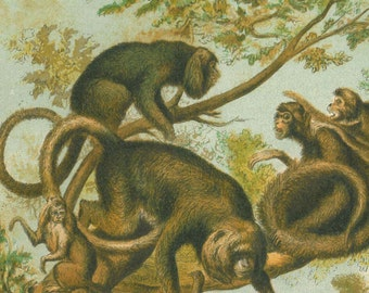 Antique Print Monkeys of the Americas, Chromolithograph, 1892, Natural History Art, New World Monkeys