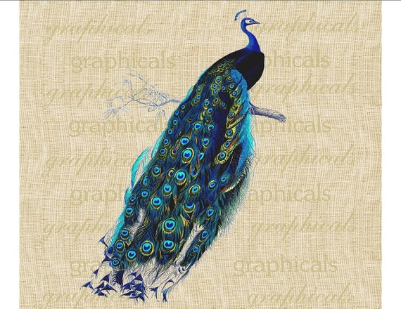 Blue Peacock Bird Instant digital download Graphic Image transfers for Iron on fabric burlap pillows tote bags Decoupage Paper craft No. 498