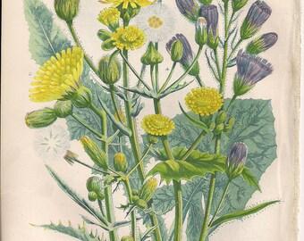 Original Victorian Chromolithograph Floral Picture print c.1900 - Blue Sow Thistle - Corn S T - Sow Thistle - Common Annual S T.