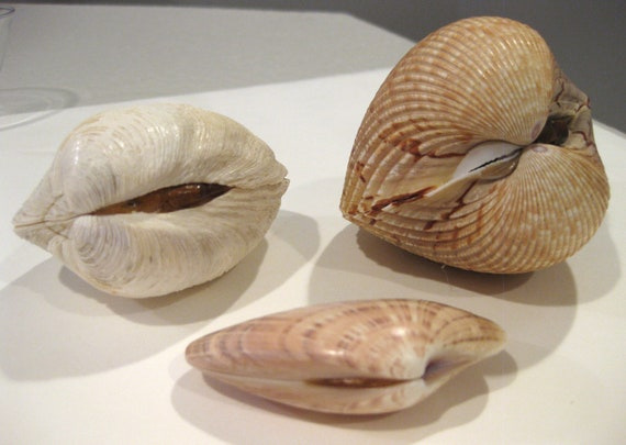 3 Large Duck Clam Sunray Venus Clam And Giant Cockle Closed