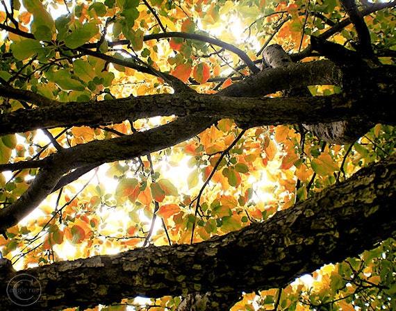 "Apple Tree Print, 11"" X 14"" Tree Print, Beneath the Autumn Wolf River Apple Tree, Old Bark, Fall Print, Autumn Decor"