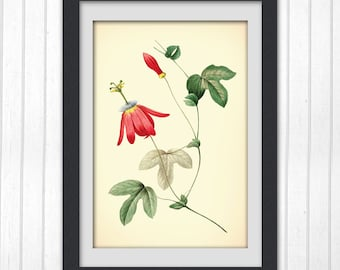 Digital Botanical Print, red flower, produced from an antique botanical book, 8x11 wall art, No89
