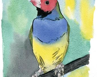 The Gouldian Finch illustration print.