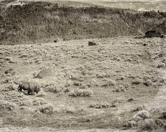 "The lone Bison in Yellowstone National Park 8""X12"" photograph."