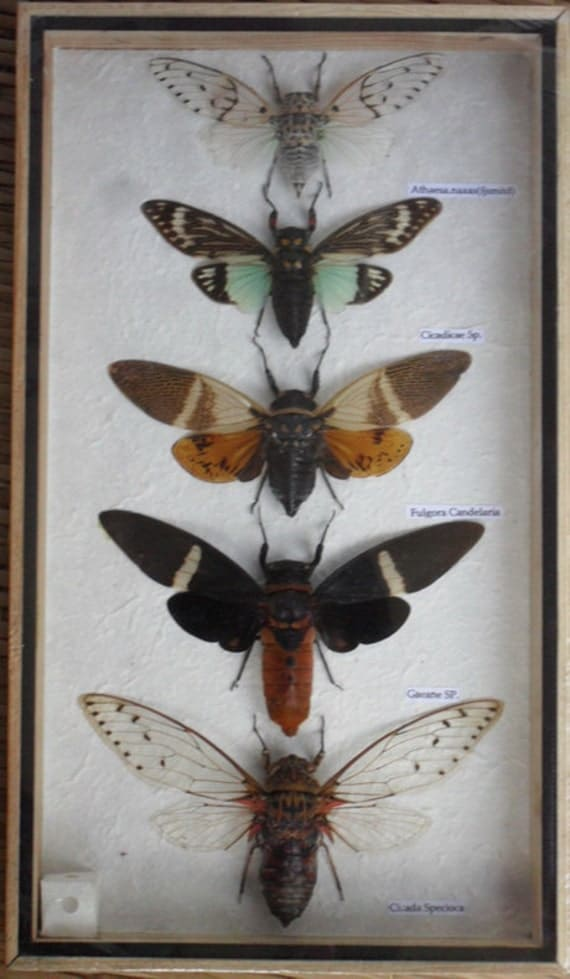 5 Real CICADA Insect Taxidermy Collection in wooden box / inf07f