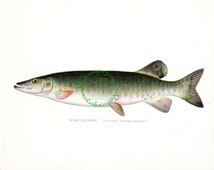 Vintage fish print digital download: Mascalonge (Muskellunge) print, by S. F. Denton, 1903