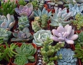 50 Succulent Plants, Wedding Favors, Vertical Garden, Wreath, Boutonnieres, Fundraising Events,