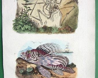 NATURAL HISTORY Skeleton of Pterodactylus, Pterois Lion Fish - 1836 H/C Color Antique Print