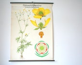 Vintage. Pull down chart. Botanical. School. Science. Poster. Mid Century German DDR. Educational. Canvas. Buttercups (201)