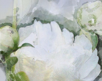 White Peony Watercolor print and card