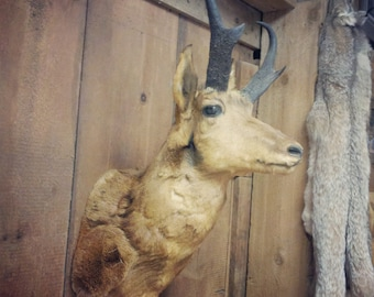 Antique Taxidermy Pronghorn Antelope