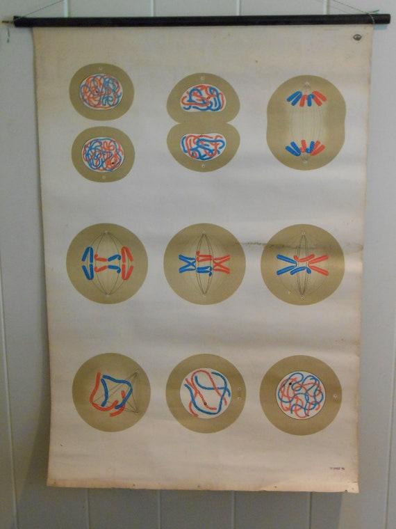 Vintage School Chart Depicting Cellular Division