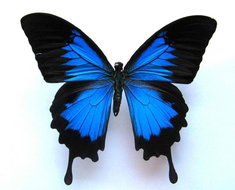 Blue Real Butterfly Hair Clip or Bouquet Stem