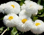 Daisy English White Dwarf, Perennial Flower Seeds, Butterflies, 25 Seeds