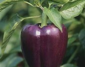Heirloom, Purple Beauty Pepper, Seeds, Grown on our Farm, 10 Seeds