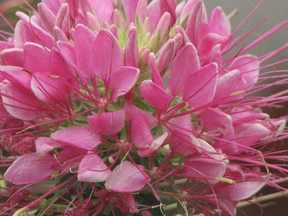 Flower Hummingbirds Attracted Attracts Hummingbirds And