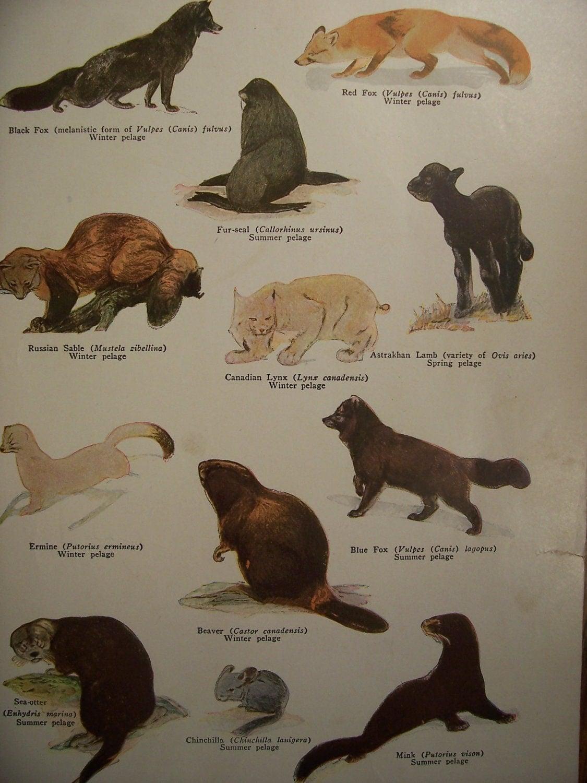 Animals images beaver chinchilla mink fox sable lynx lamb fur seal on